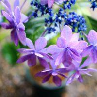 岐阜県の紫陽花の名所 2か所を紹介。