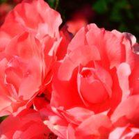 大野町バラ公園のたくさんのバラ セントレア・スカイローズも見てきました。