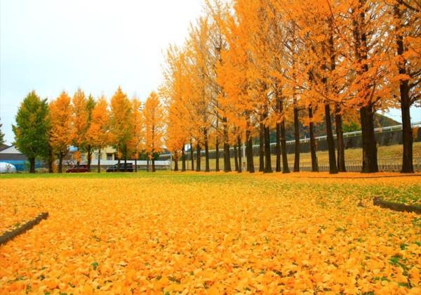 岐阜市 雄日ヶ丘公園の紅葉 イチョウ