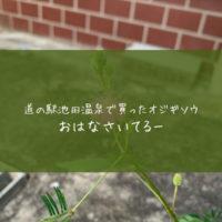 道の駅池田温泉のJA直売所でオジギソウを買った理由