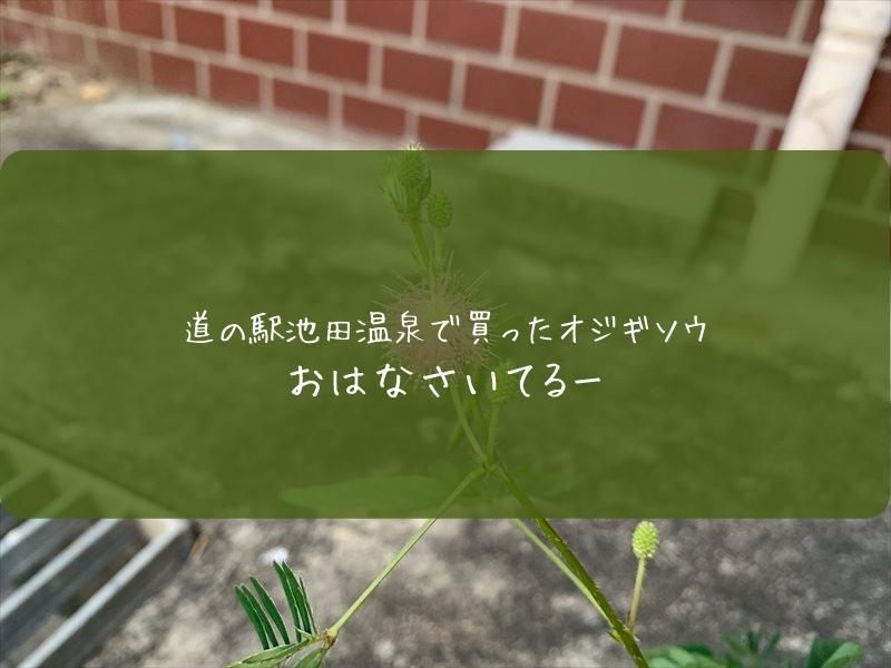 道の駅池田温泉でオジギソウ買った